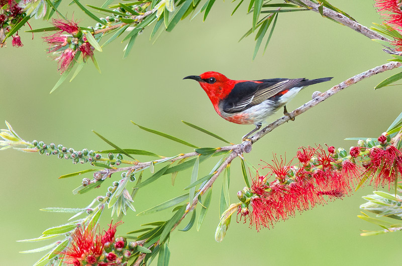 Scarlet Myzomela - Myzomela sanguinolenta (m) (Tathra, NSW)