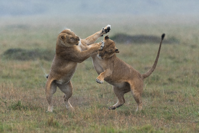 Boxing Lions