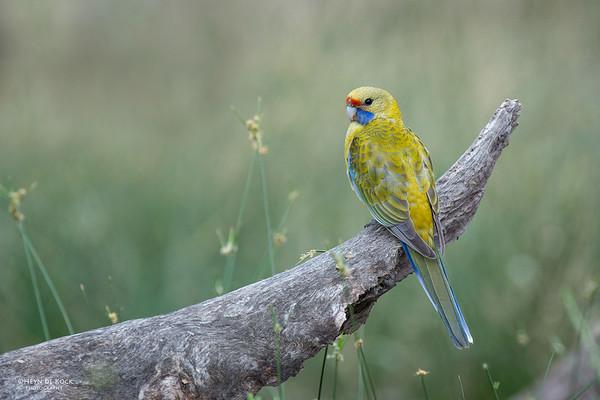 Yellow Rosella, Hattah Kulkyne NP, VIC, Aus, Nov 2014-1