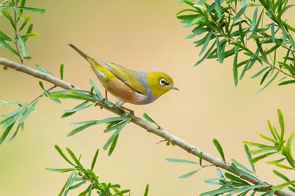 Silvereye – Zosterops lateralis (Melbourne, Victoria)