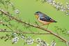 Spotted Pardalote - Pardalotus punctatus (m) (Surrey Hills, Vic)