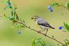 "Striated Pardalote - Pardalotus striatus ""Yelow-tipped Pardalote"" (Bells Beach, Victoria)"