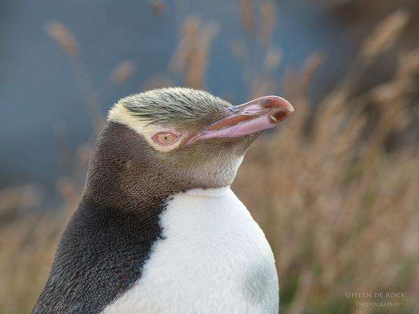 Yellow-eyed Penquin, Omarau, SI, NZ, Jan 2013