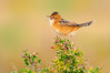 Golden-headed Cisticola – Cisticola exilis (Melbourne, Victoria)