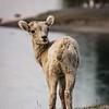 Cute little Mountain Goat