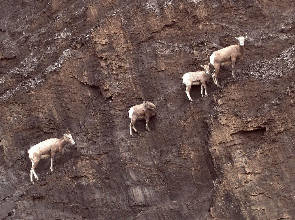 Velcro sheep
