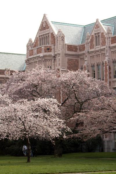 UW Cherry Trees