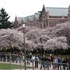 UW Cherry Trees