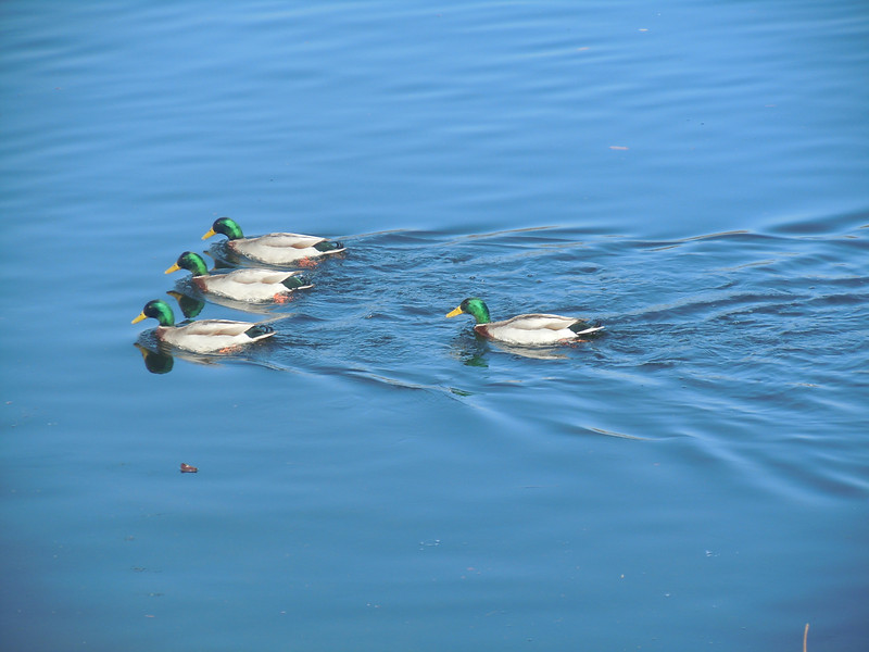 Most ducks in a row