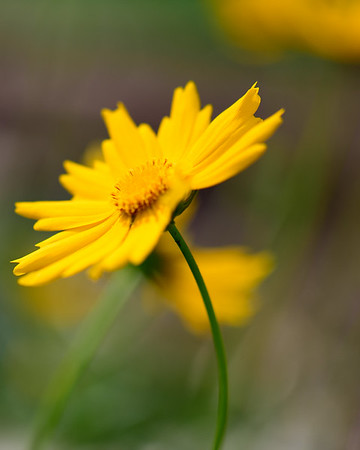 Yellow Pal