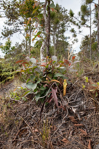 Nepenthes smilesii at Phu Kradueng National Park (Thai: อุทยานแห่งชาติภูกระดึง) in Loei Province, Thailand.