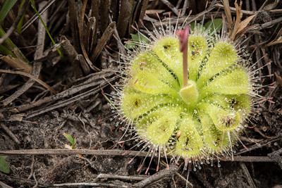 Drosera burmannii at Phu Kradueng National Park (Thai: อุทยานแห่งชาติภูกระดึง) in Loei Province, Thailand.