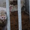 Pig Slop