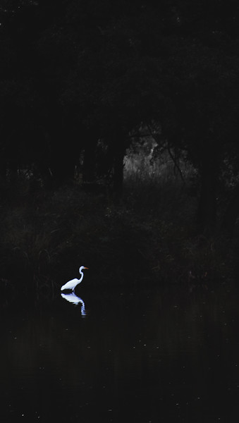 Glow of the Great Egret