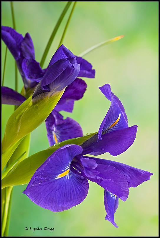 Iris inspirations