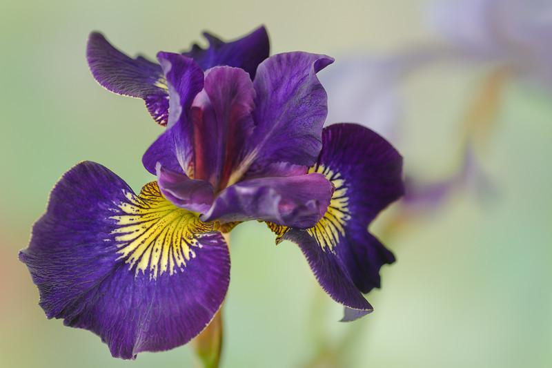 Regal Purple Iris, 14