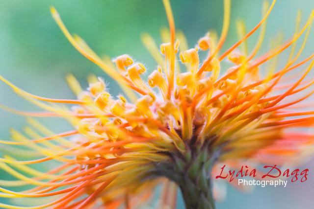 Pincushion Protea, Pinnacle II, #6560