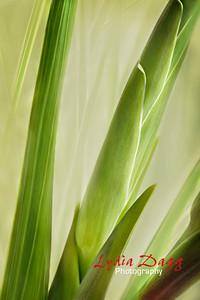 Gladioli Bursting Forth, #5824