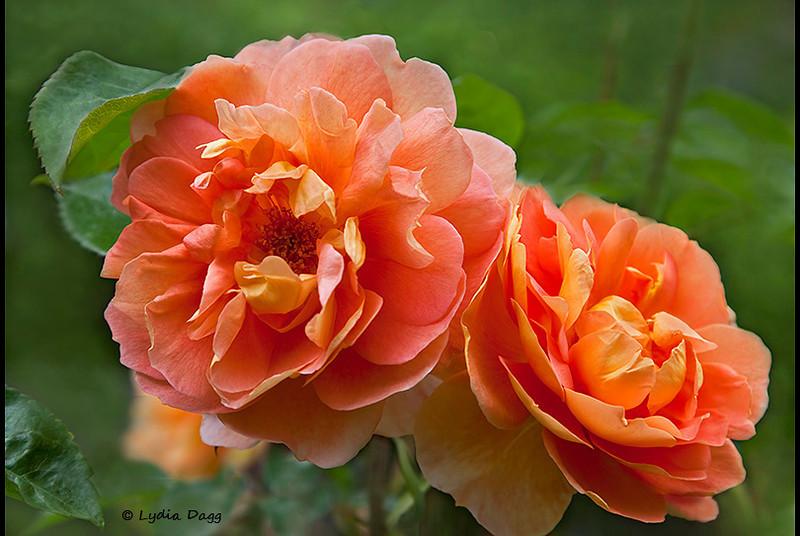 Elaine's Roses, 3