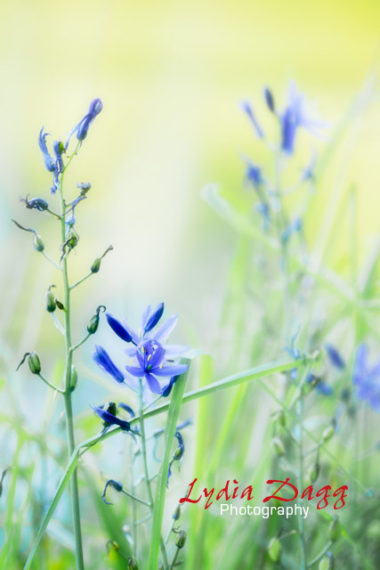 Blue Wildflowers, #1842