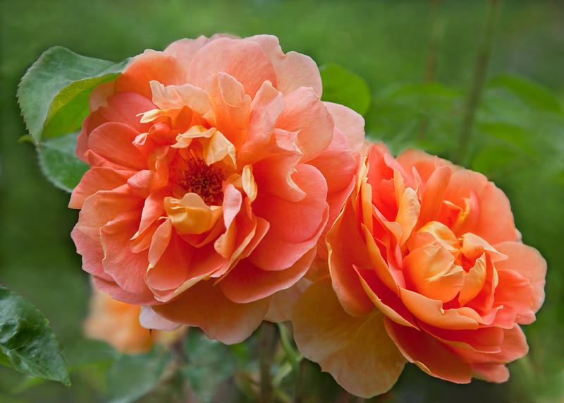 Elaine's Garden Roses, 3