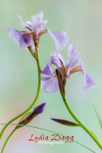 Iris Impact, #5651