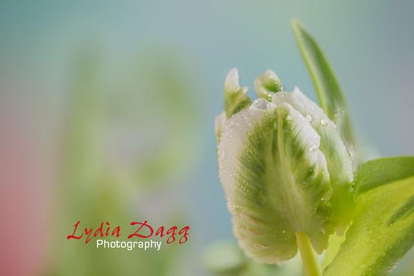 Cool Tulip Princess #3831