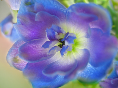 Delphinium Purity, 1
