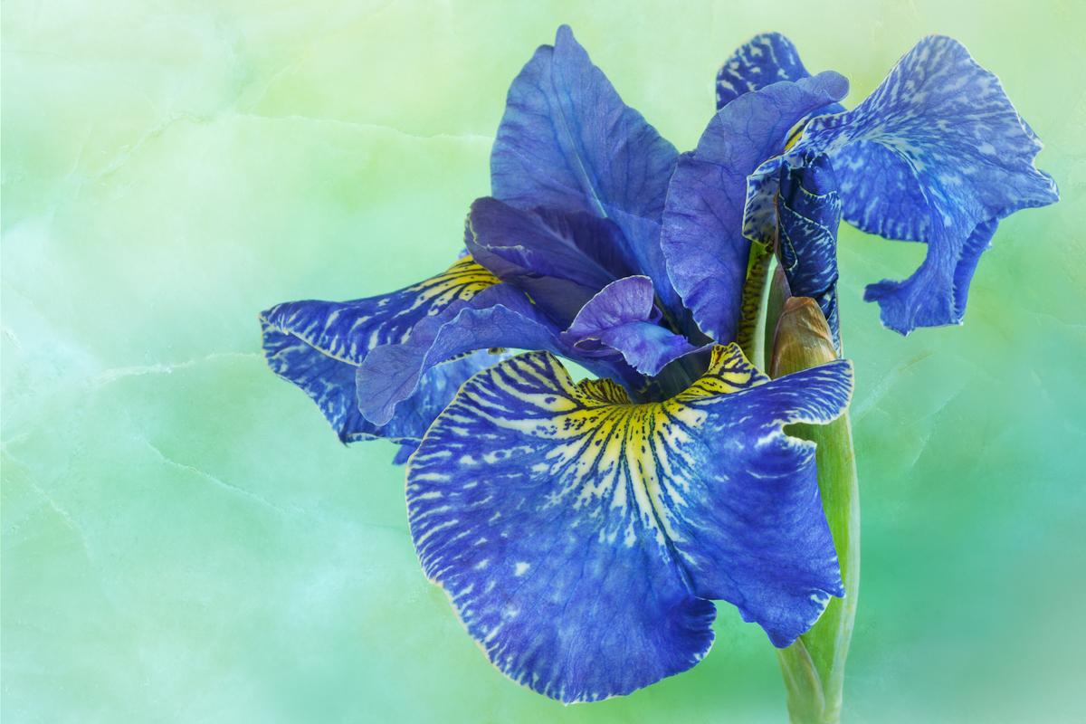 Iris, Beholden, 3