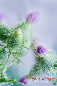 Common Thistle, #8998