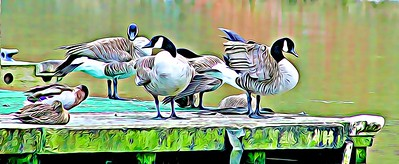 Canadian Geese and Ducks on Pier