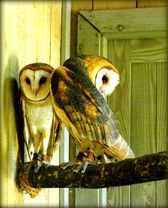 The Barn Owls