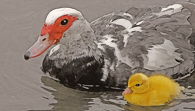 Muscovy Duck and Baby