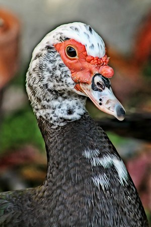 Portrait of a Muscovy Duck