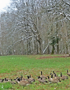 Gaggle of Geese and Snow