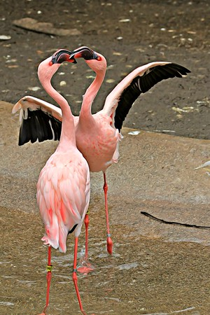 Dancing Flamingos