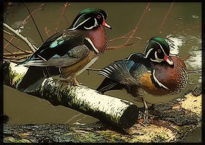 Wood Ducks Hanging Out
