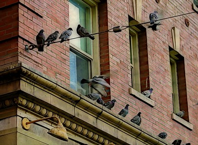 Apartment Living For Pigeons
