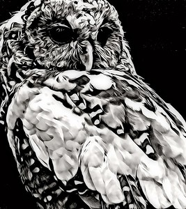 Barred Owl in Black and White