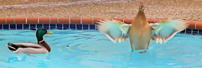 Ducks a Dipping