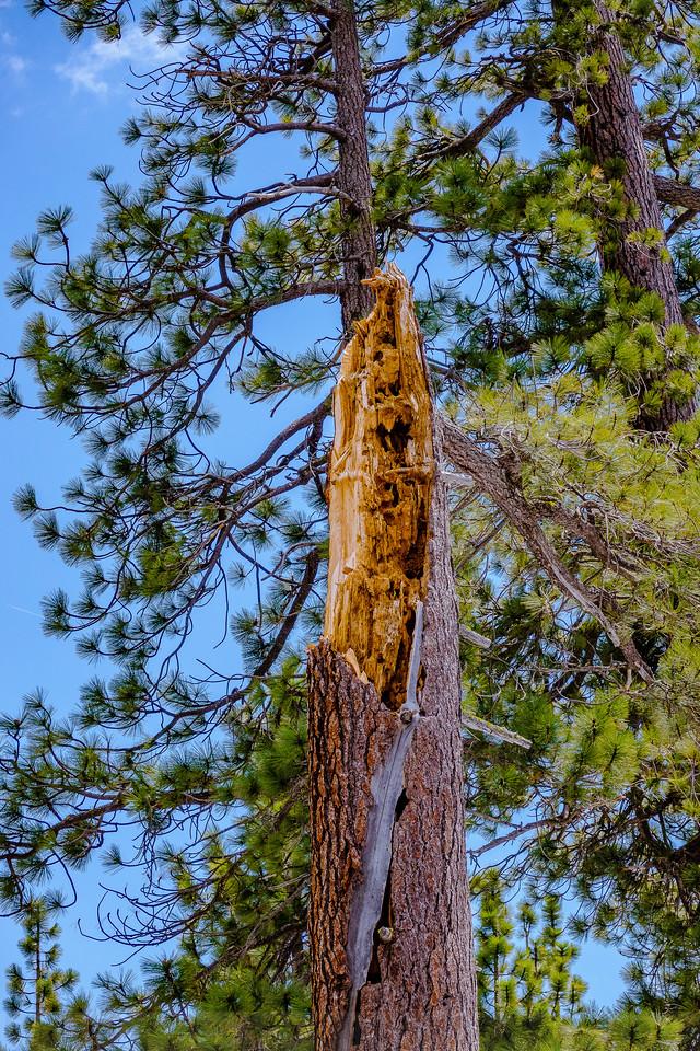 Ponderosa Pine Snag