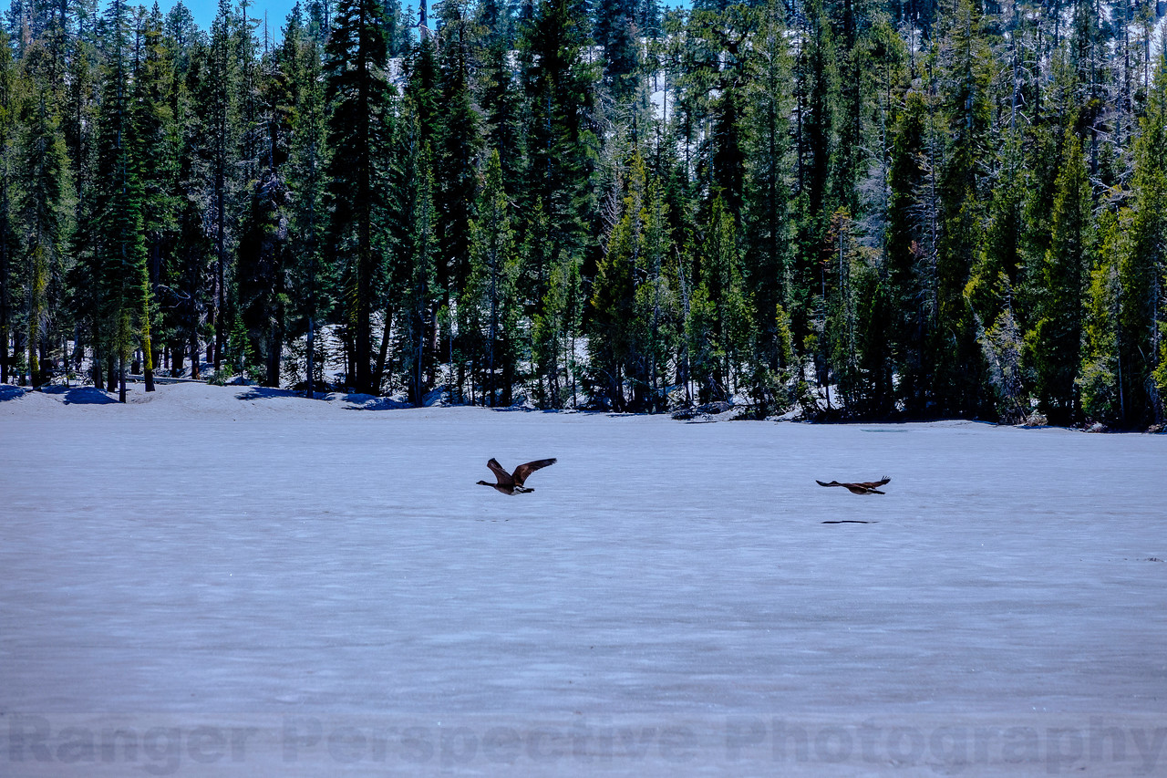 Geese over Goose Lake