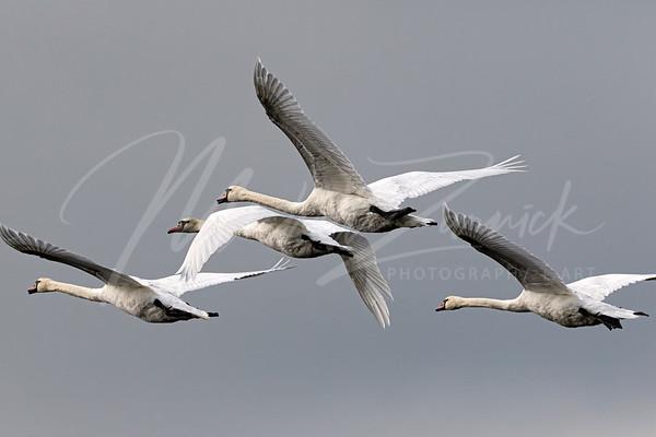 The Swans of September