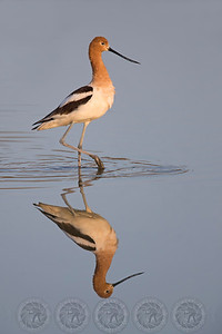 Avocet San Jacinto Wildlife Refuge, Ca