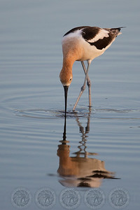Avocet San Jacinto Wildlife Refuge CA