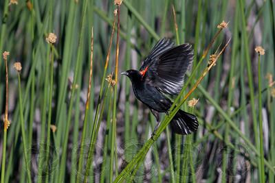 Orange Winged Blackbird Cuyamaca State Park CA