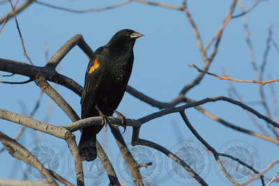Orange Winged Blackbird Lake Cuyamaca CA