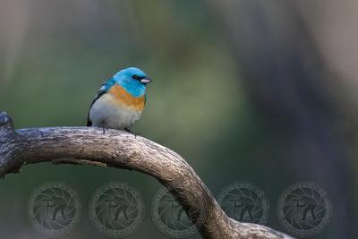 Male Lazuli Bunting Cuyamaca State Park CA