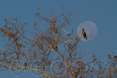 Cormorant at Moonset Santee lakes CA