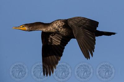 Cormorant Santee Lakes CA